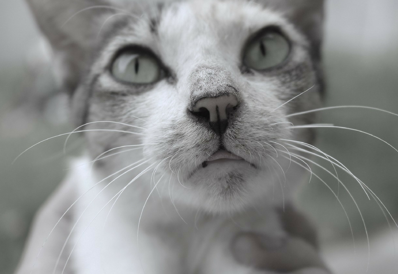 Black and white image of cat